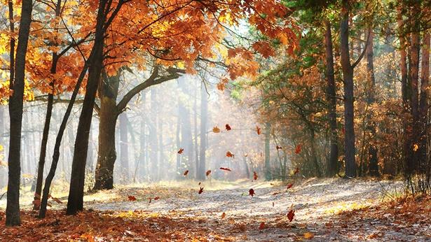 秋风落叶,枫树